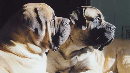mastiffs looking
