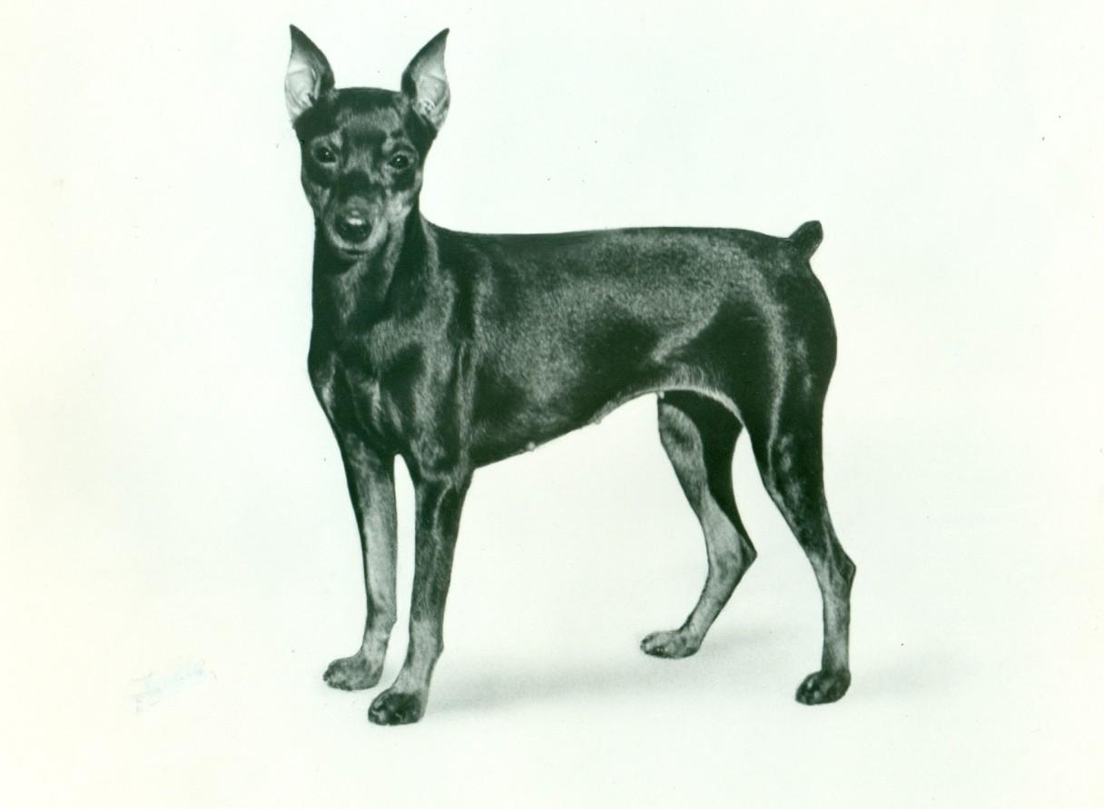 Miniature pinscher dog breed my pet 39 s instinct for Pinscher temperamento