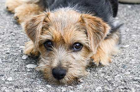 Norfolk Terrier body