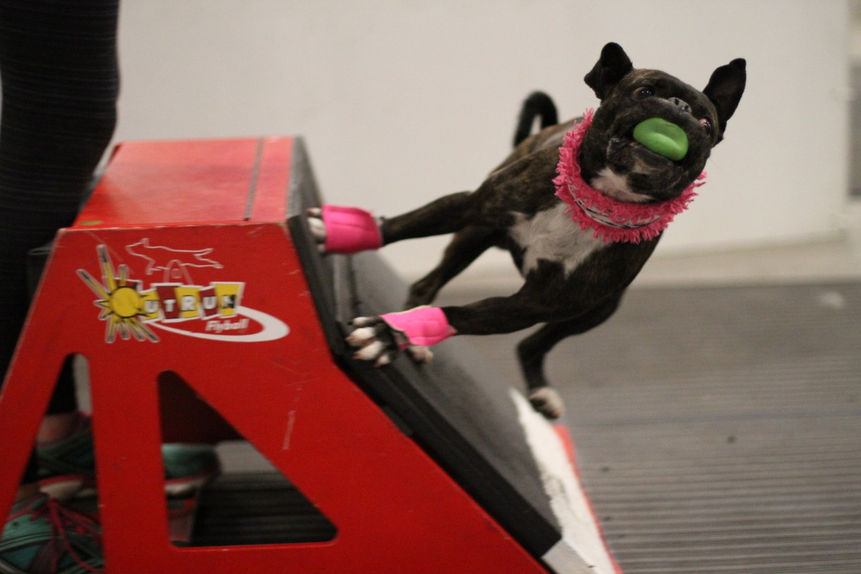 All Dogs Can Play the Fun Sport of Flyball – American ...