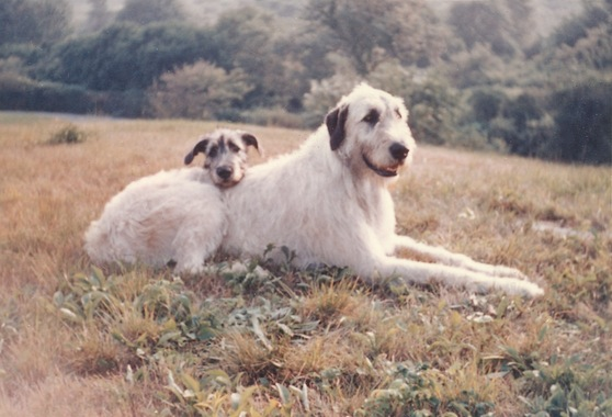 Living Large Raising An Irish Wolfhound Puppy American