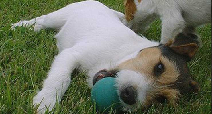 Parson Russell Terrier with ball in mouth