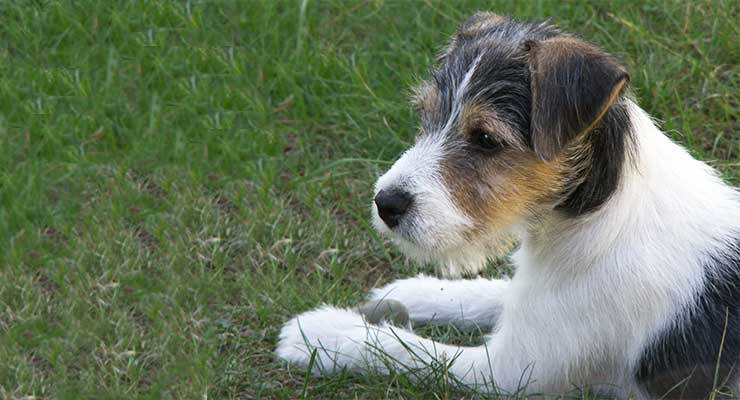 Parson Russell Terrier in grass