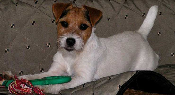 Parson Russell Terrier with toy
