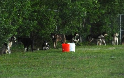 Sled dogs on tie-outs in the evacuation area.