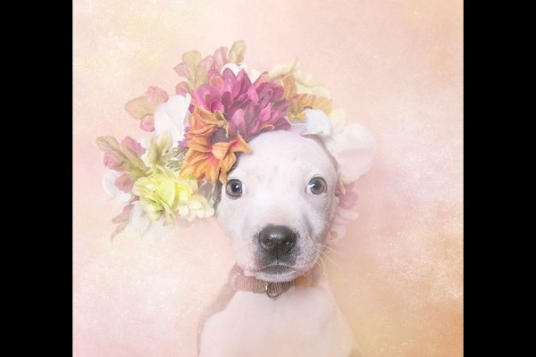 Photographer Shows Soft Side of Pitbulls in Flower Power
