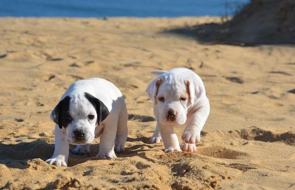 pointer pups on beach