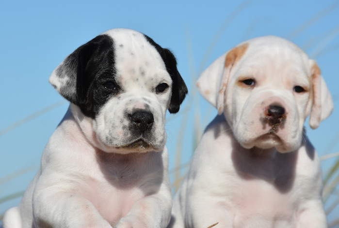 pointer pups side by side