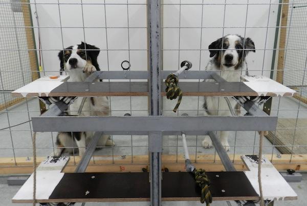 Prosocial behavior in two dogs