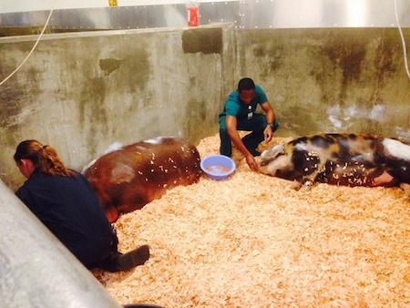 relief efforts pigs