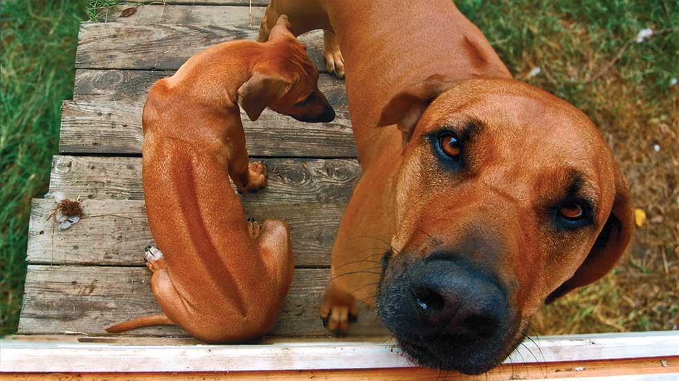 Blue Ridge Dog Breed