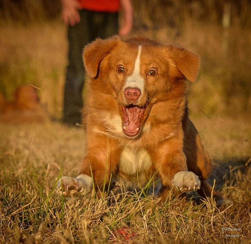 10 Reasons To Get A Toller And