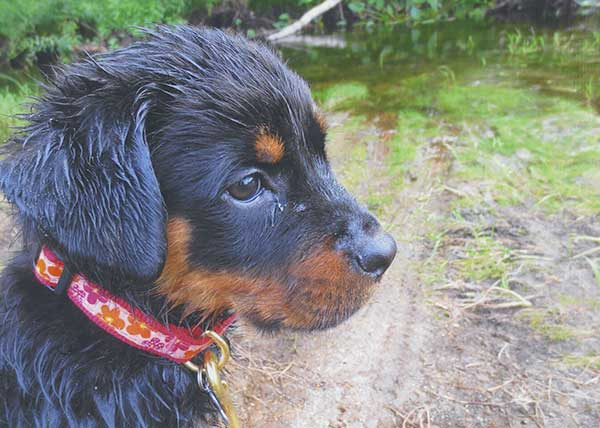 Rottie Puppy Wet