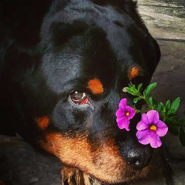 5 Things That You Probably Dont Know About Rottweilers American