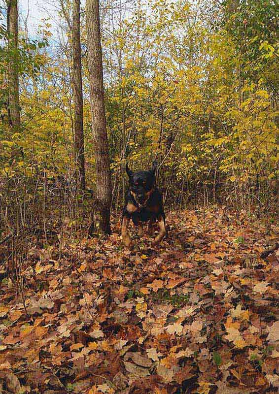 Rottie Running Sized