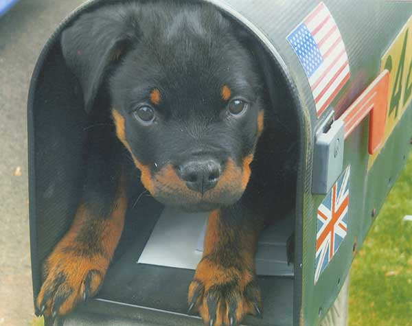 Rottie Special Delivery