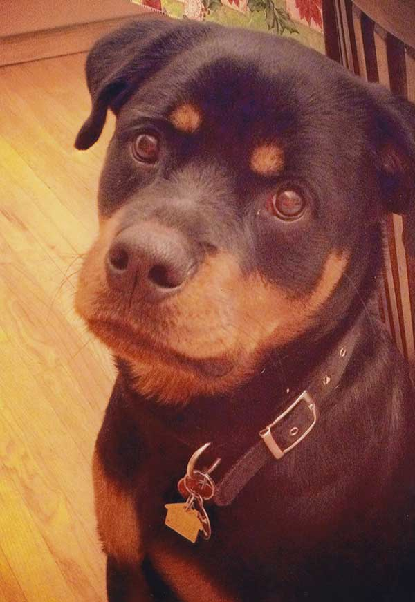 Rottie Sweet Face