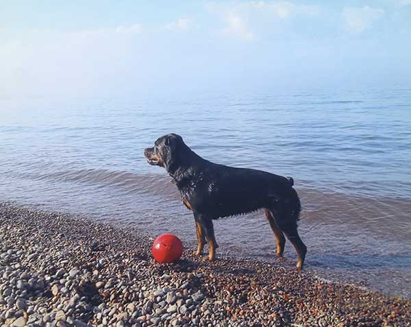 Rottie on the beach