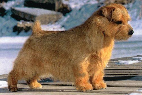 Norfolk Terrier - storm