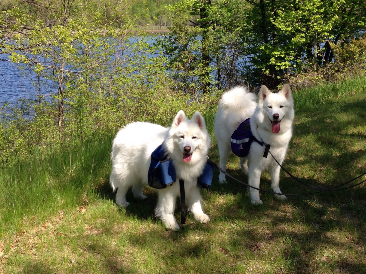 Samoyeds by water