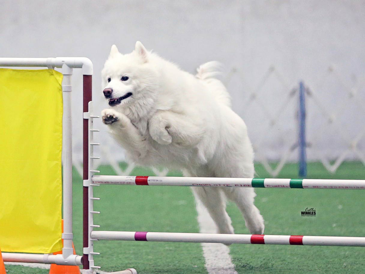Samoyed in an event