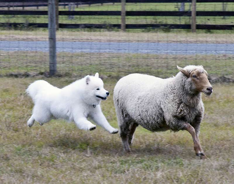Samoyed herding sheep