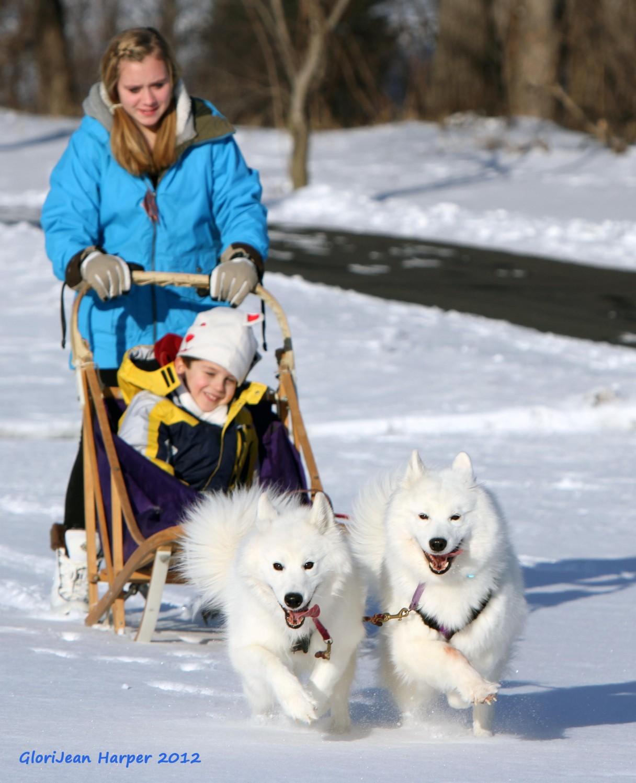 Samoyed pulling sled