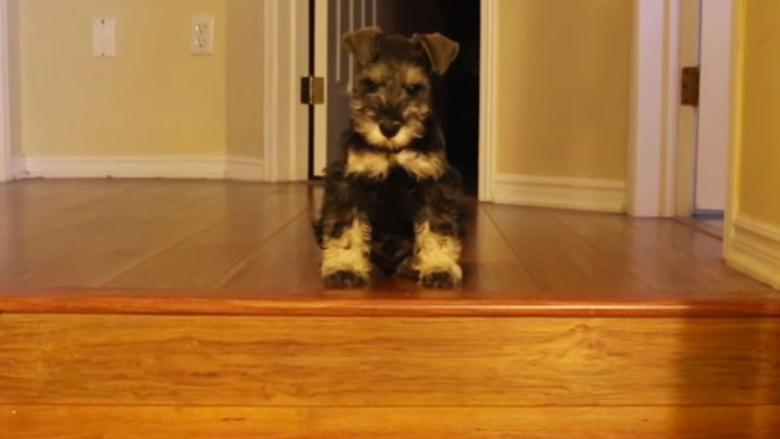 Watch As This Mini Schnauzer Puppy Shows The Stairs Who S Boss American Kennel Club
