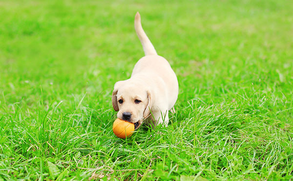 Lab puppy playing with toy.