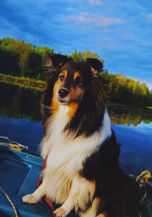 Sheltie on a boat - Christina Raskay