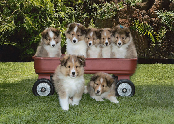 Sheltie puppies - Mike Johnson