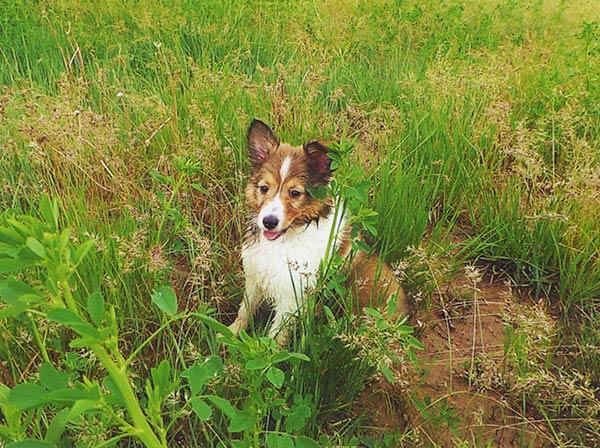 Sheltie in grass - Susannah Rohbock