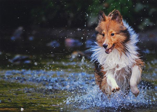 Sheltie splashing - ChiaraCurcillo