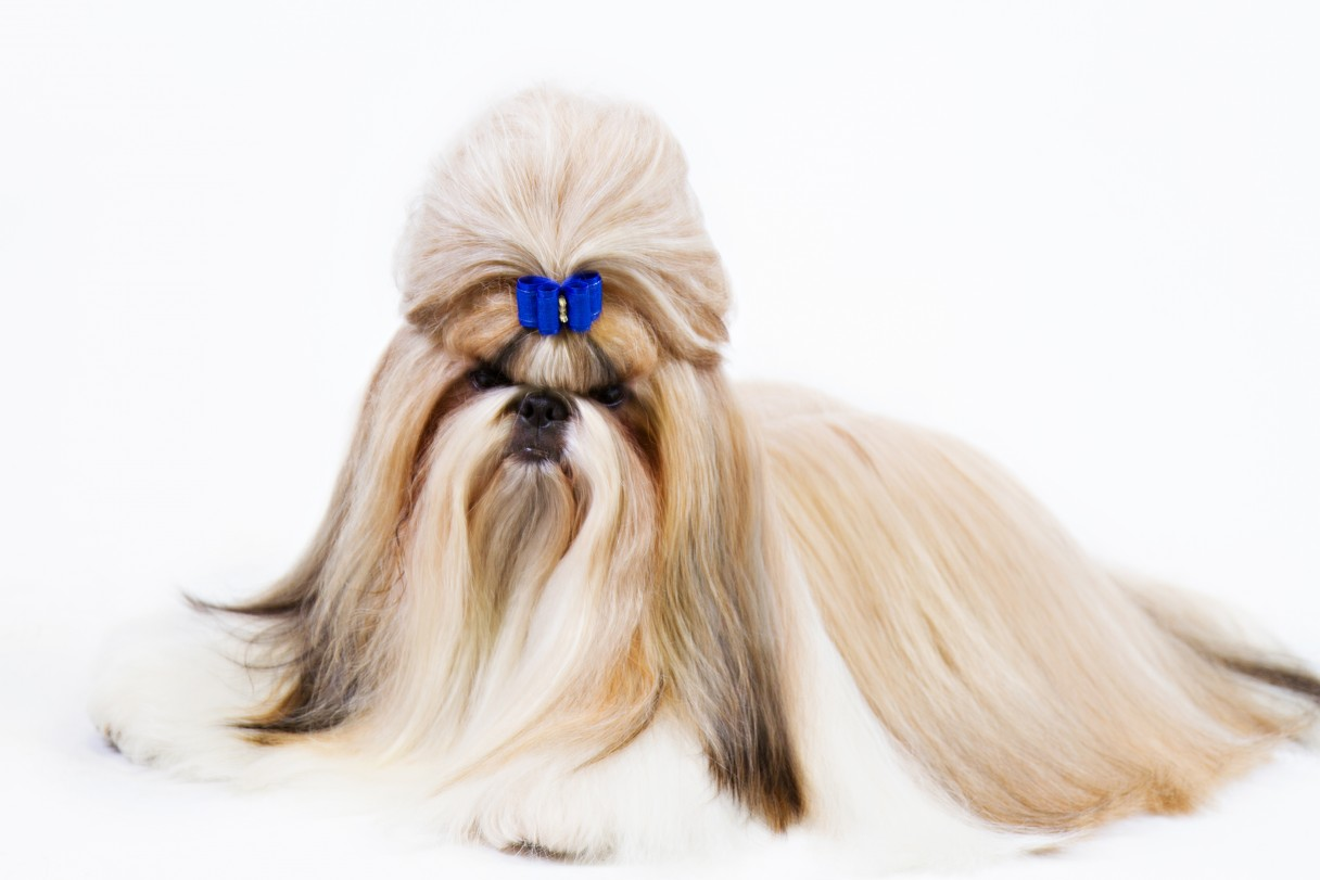 The Glamorous Shih Tzu Coat From Top Knot To Tail American Kennel
