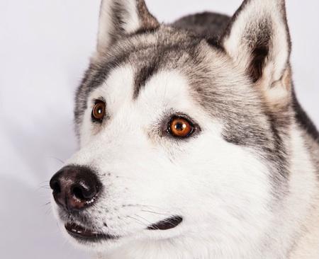 Siberian eyes