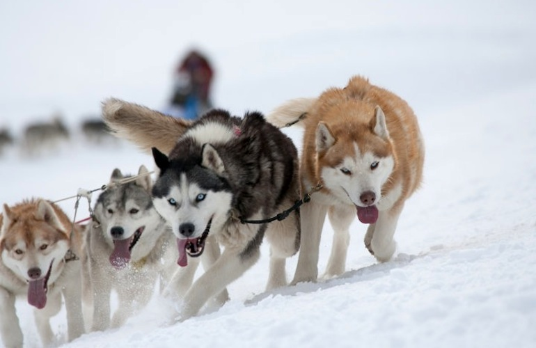 10 Reasons Why The Siberian Husky Is An Amazing Breed American