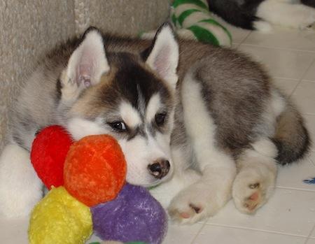 Siberian Pup