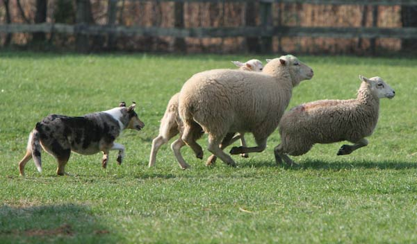 Smooth Collie with sheep