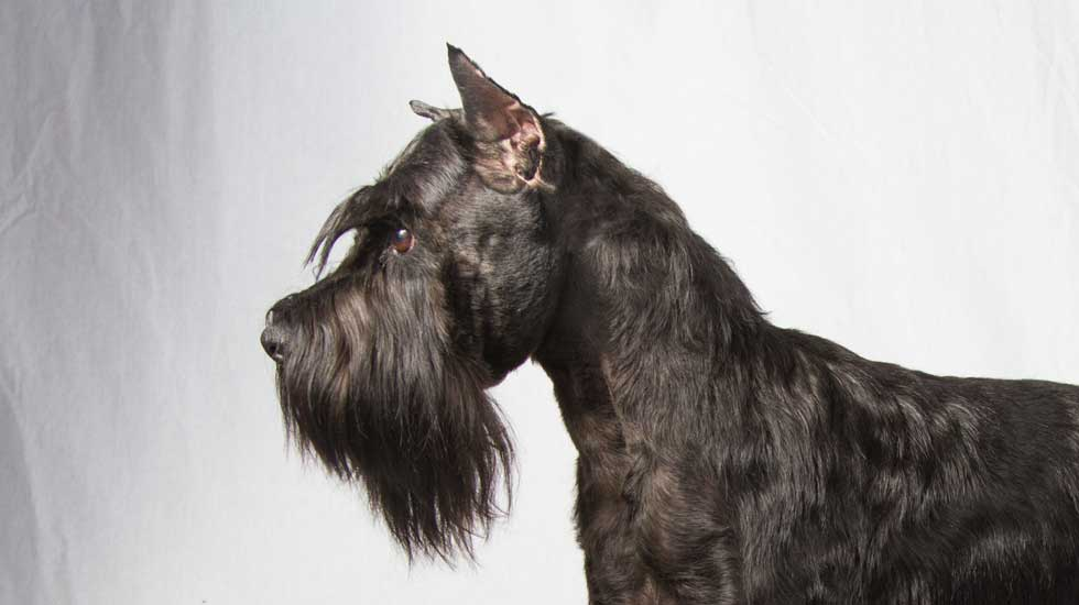 Why Doesnt Everyone Have A Standard Schnauzer American Kennel Club