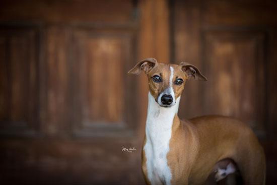 June - Tango - Italian Greyhound