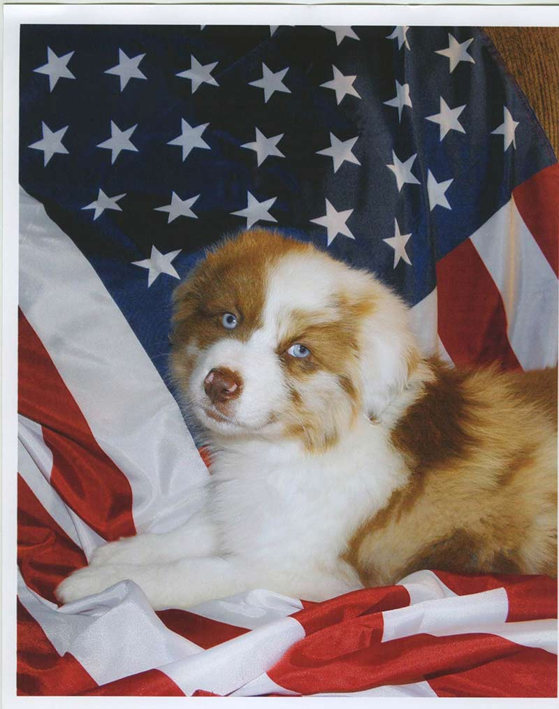 dogs with american flag