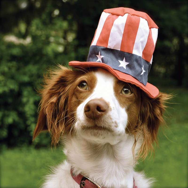 puppy with american flag