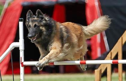 Agility dog show