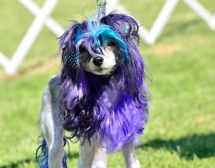 Dog with dyed wig