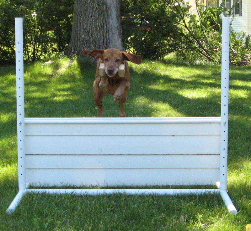 Vizsla doing obedience traninng