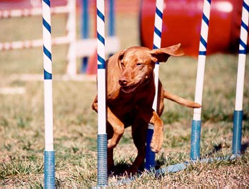 vizsla weaving during agility