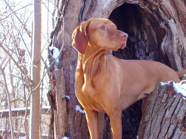 vizsla dog in trees