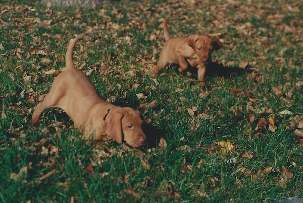 Vizsla puppies