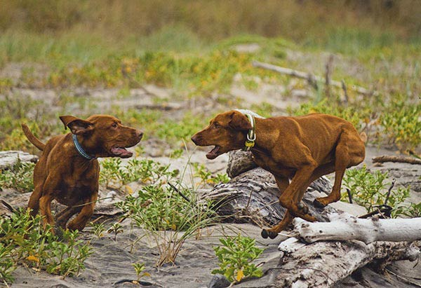 Two Vizsla dogs
