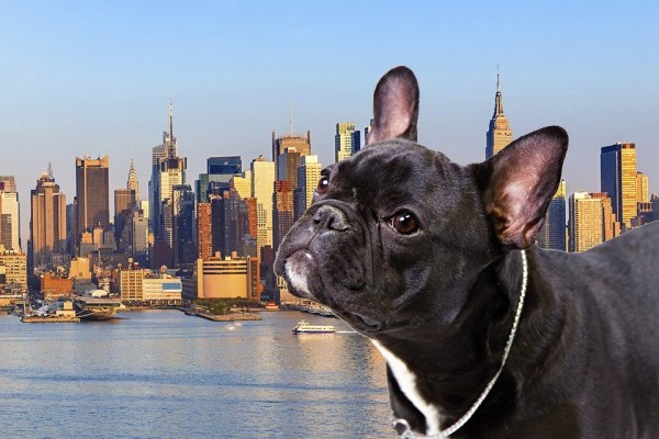 French Bulldog Is Most Popular Dog In New York City ...